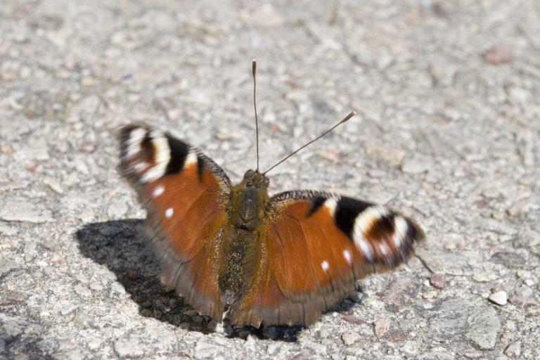 "Libellenmoment I – ""Der Schmetterling"""